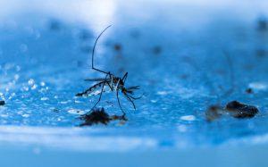 Генетически модифицированный грибок уничтожит малярийных комаров